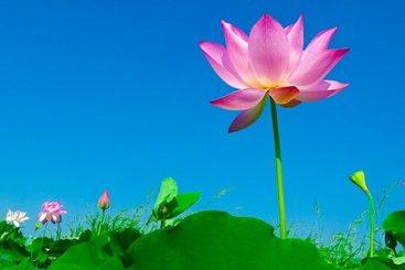 ベトナムの国花は何でしょう❓